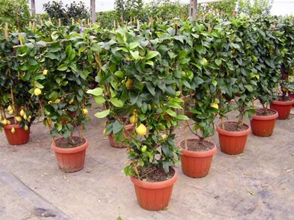 alberi da frutto modena carpi piante da giardino vaso