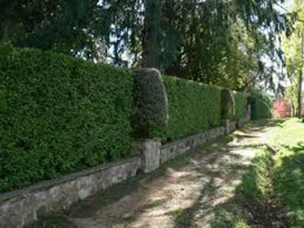 Piante da siepe carpi reggio emilia arbusti sempreverdi for Piante da comprare