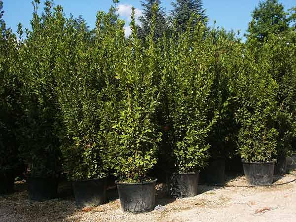 Vendita Piante Da Siepe : Piante da siepe carpi reggio emilia arbusti sempreverdi