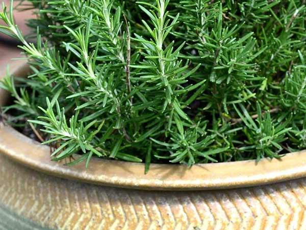 Piante aromatiche carpi reggio emilia vendita erbe for Erbe aromatiche in vaso