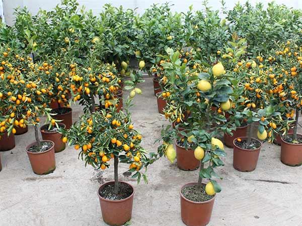 Alberi da frutto modena carpi piante da giardino vaso - Alberi da piantare in giardino ...