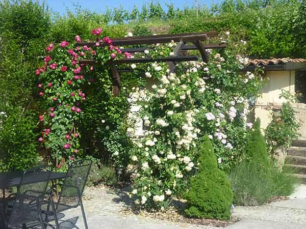 Piante rampicanti rubiera reggio emilia sempreverdi for Piante da terrazzo sempreverdi