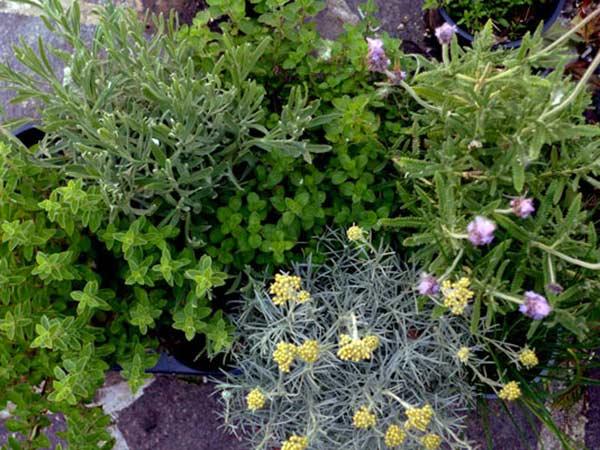 piante aromatiche carpi reggio emilia vendita erbe