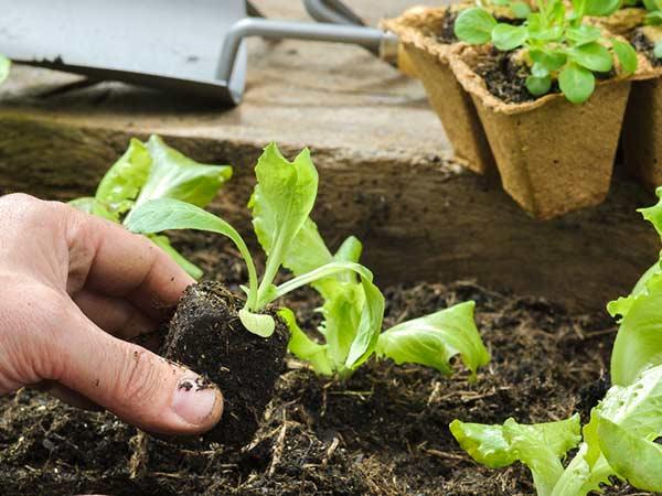 Piantine da orto rubiera reggio emilia vendita sementi for Piantine orto prezzi