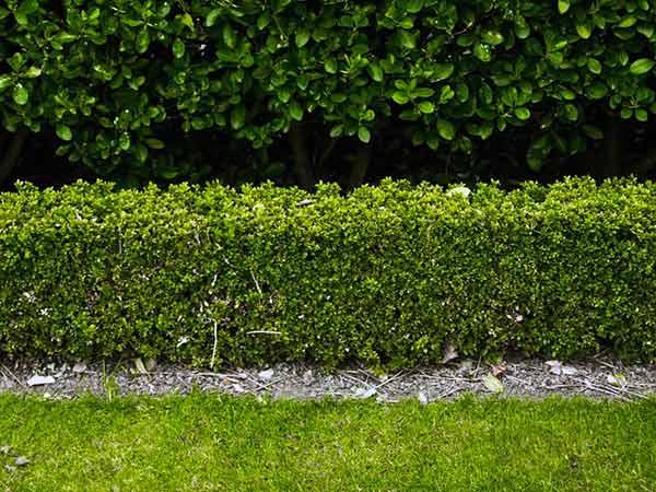 ... Reggio Emilia – arbusti sempreverdi alloro da giardino recinzione
