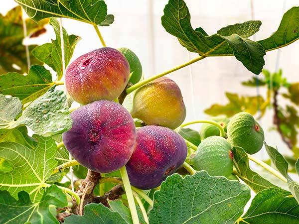 Vendita-alberi-da-frutto-Modena